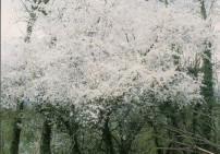 (6) שרי פלאם - Cherry Plum