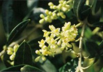 טינקטורת עלי זית - Olive