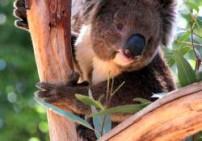 אקליפטוס גלובולוס שלוס -  Eucalyptus Globulus