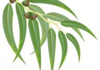 אקליפטוס דייבס - Eucalyptus Dives