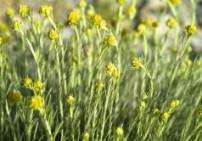 הליקריסום שלוס - Helicrysum