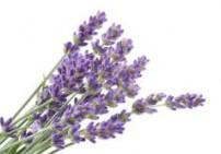 לבנדר שלוס - Lavender