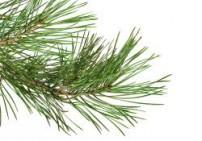 אורן סיבירי - Siberian Pine