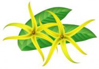 ילנג ילנג שלוס - Ylang Ylang