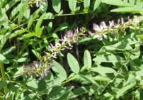 שוש קירח - Glycyrrhiza