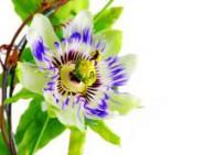 פסיפלורה -  Passiflora