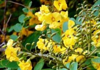 עץ שושנים שלוס - Rosewood