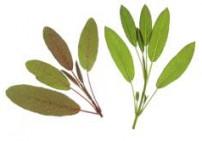 מרווה רפואית שלוס - Salvia